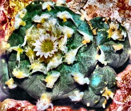 lophopophora en fleur.jpg